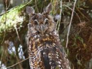 Abyssinian Owl - Bale Mountains - 2012-02-27 - 01 copy PBase