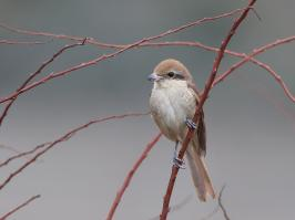 Brown Shrike - Den Helder - 2017-02-20 - 23 copy PBase