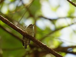 Scaled Piculet - Minca - 2016-09-06 - 03 copy PBase