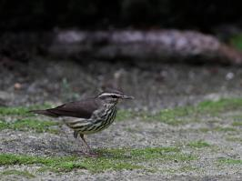Northern Waterthrush - Puerto Morelos - 2013-11-26 - 04 copy PBase