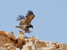 Steppe Eagle - Ne'ot Smadar - 2014-03-27 - 02 copy PBase