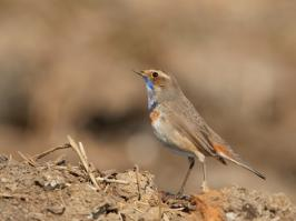 Bluethroat - Bodegraven - 2018-03-26 - 06 copy PBase
