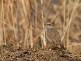 Bluethroat - Bodegraven - 2018-03-26 - 02 copy PBase