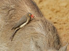 Red-billed Oxpecker - Mkuze - 2014-09-04 - 19 copy PBase Op de site zetten