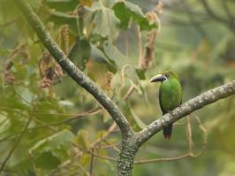 Emerald Toucanet - La Romera - 2016-08-25 - 01 copy PBase