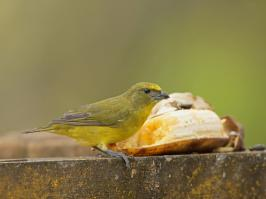 Thick-billed Euphonia - La Pinuela - 2016-09-25 - 06 copy PBase