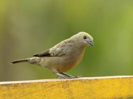 Palm Tanager - La Pinuela - 2016-08-25 - 01 copy PBase