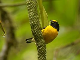 Orange-breasted Euphonia - Otun - 2016-08-30 - 01 copy PBase
