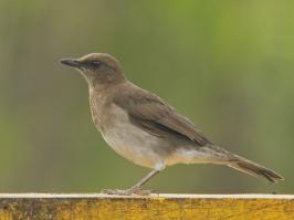 Black-billed Thrush - La Pinuela - 2016-08-25 - 01 copy PBase