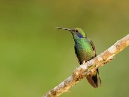 Green Violetear - Rio Blanco - 2016-08-27 - 01 copy PBase