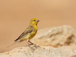 Atlantic Canary - Villaflor - 2017-06-28 - 08 copy PBase
