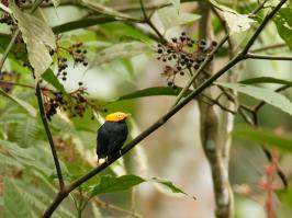 Golden-headed Manakin - Bella Vista - 2016-08-21 - 01 copy PBase