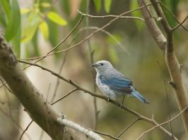 Blue-grey Tanager - La Pinuela - 2016-08-25 - 03 copy PBase
