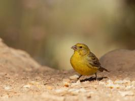 Atlantic Canary - Villaflor - 2017-07-01 - 02 copy PBase