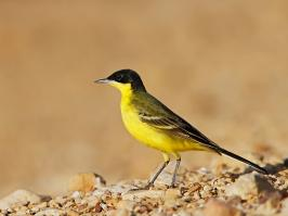 Black-headed Wagtail - Eilat - 2014-03-26 - 01 copy PBase