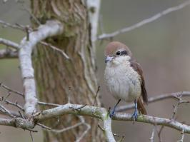 Brown Shrike - Den Helder - 2017-02-20 - 05 copy PBase