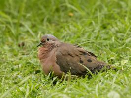 Eared Dove - Otun - 2016-08-30 - 01 copy PBase