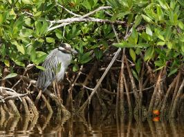 Yellow-crowned Night-Heron - Caya Guillermo - 2012-11-24 - 01 copy PBase