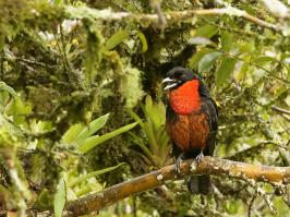 Red-ruffed Fruitcrow - Otun - 2016-08-29 - 02 copy PBase