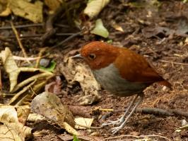Bicolored Antpitta - Rio Blanco - 2016-08-28 - 03 copy PBase