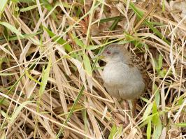 Ash-throated Crake - Pirai - 2015-08-28 - 02 copy PBase