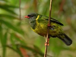 Green-and-black Fruiteater - Rio Blanco - 2016-08-28 - 17 copy PBase