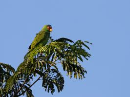 White-fronted Parrot - Chichen Itza - 2013-11-29 - 02 copy PBase