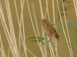 Common Reed Bunting - Nijkerk - 2017-08-07 - 01 copy PBase