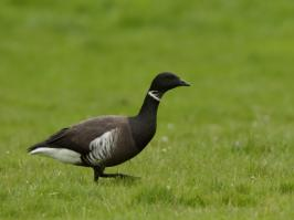 Black Brant - De Cocksdorp - 2017-04-08 - 04 copy PBase