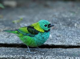 Green-headed Tanager - Itatiaia - 2015-08-29 - 01 copy PBase
