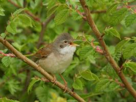 Common Whitethroat - Oost - 2018-05-13 - 03 copy PBase