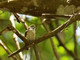 Scaled Piculet - Minca - 2016-09-06 - 02 copy PBase