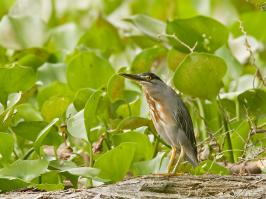 Striated Heron - Guarinocito - 2016-08-22 - 01 copy PBase