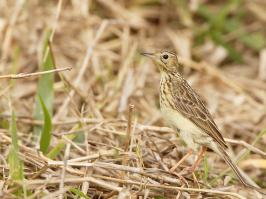 Yellowish Pipit - Itatiaia - 2015-08-28 - 07 copy PBase