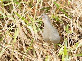 Ash-throated Crake - Pirai - 2015-08-28 - 01 copy PBase