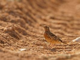 Red-throated Pipit - Yotvata - 2014-03-27 - 01 copy PBase
