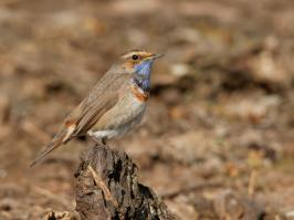 Bluethroat - Bodegraven - 2018-03-26 - 04 copy PBase