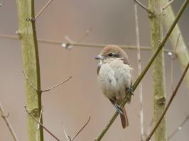 Brown Shrike - Den Helder - 2017-02-20 - 16 copy PBase