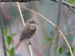 Brown Shrike - Den Helder - 2017-02-20 - 02 copy PBase