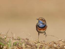 Bluethroat - Bodegraven - 2018-04-06 - 01 copy PBase