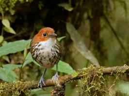 Chestnut-crowned Antpitta - Rio Blanco - 2016-08-28 - 02 copy PBase