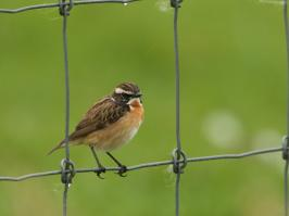 Whinchat - Oost - 2018-05-13 - 12 copy PBase