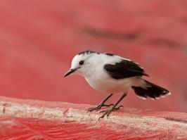 Pied Water-tyrant - Guarinocito - 2016-08-22 - 05 copy PBase