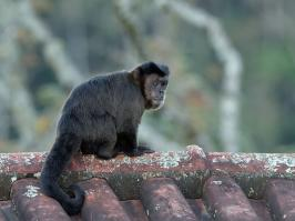Brown Capuchin - Itatiaia - 2015-08-31 - 07 copy PBase