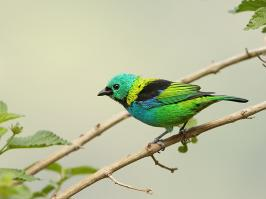 Green-headed Tanager - Itatiaia - 2015-08-29 - 12 copy PBase