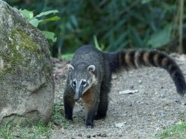 South American Coati - Itatiaia - 2015-08-31 - 03 copy PBase