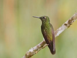 Buff-tailed Coronet - Rio Blanco - 2016-08-27 - 03 copy PBase