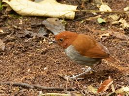 Bicolored Antpitta - Rio Blanco - 2016-08-28 - 01 copy PBase