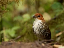 Chestnut-crowned Antpitta - Rio Blanco - 2016-08-28 - 03 copy PBase