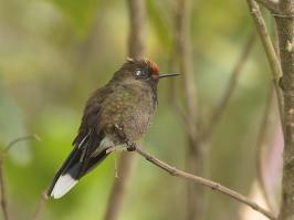 Rainbow-bearded Thornbill - Paramo del Ruiz - 2016-08-29 - 10 copy PBase